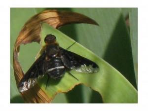 hemipenthes morio
